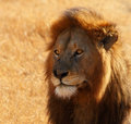 Dazed Male Lion Head Shot Stock Photography
