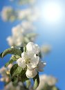 Dazzling white flower blossoms with pink unopened bud adorn a crab apple tree branch in spring Royalty Free Stock Photography
