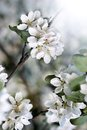 Dazzling white flower blossoms with pink unopened bud adorn a crab apple tree branch in spring Stock Image