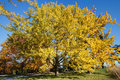Dazzling Yellow Maidenhair Tree Virginia Royalty Free Stock Images