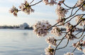 Dc cherry blossoms and jefferson memorial sunrise japanese in full bloom around the washington tidal basin with in the background Royalty Free Stock Image