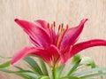 De bloem van Lilium Stock Afbeeldingen