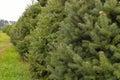 De bomen van de pijnboom op een boomlandbouwbedrijf Stock Fotografie