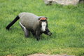 De Brazza's monkey Royalty Free Stock Photo
