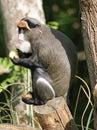 De Brazza's Monkey 4 Royalty Free Stock Photo