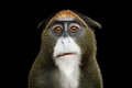 De Brazza`s Monkey Royalty Free Stock Photo