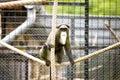 De brazzas monkey in zoo Royalty Free Stock Photos