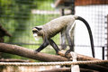 De brazzas monkey in zoo Stock Photo