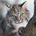 De chat sauvage rufus de lynx de fin animal captif vers le haut Photo stock