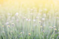 De-focus grass flower on the meadow at sunlight nature background spring Royalty Free Stock Photo