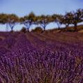 De gebieden van de lavendel Royalty-vrije Stock Fotografie