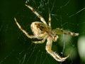 De genomen close up van araneusdiadematus spin op green Stock Foto's