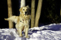 De golden retriever hiver dehors Photos stock