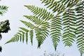 De groene Bladeren van de Varen Stock Foto's