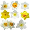 De inzameling van de gele narcis Stock Afbeeldingen
