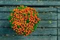 De potteninstallatie van Nertera granadensis- Royalty-vrije Stock Afbeeldingen