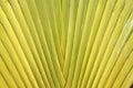 De steel van het blad van de Palm van de Reiziger Stock Afbeelding