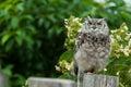 De Uil van de adelaar Royalty-vrije Stock Foto's