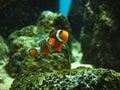 De vissen van de clown Royalty-vrije Stock Fotografie