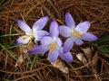 De vroege lente bloeit (krokus) in pijnboombos Stock Afbeelding