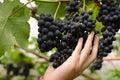 De wijndruiven van landbouwersinspecting his ripe klaar voor oogst Royalty-vrije Stock Afbeeldingen
