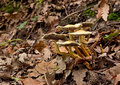 De wilde paddestoelen van Hypholoma fasciculare Royalty-vrije Stock Afbeeldingen