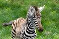 De zebra van de baby bij nakuru nationale reserve van het Meer Royalty-vrije Stock Foto's
