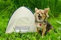 De zitting van de chihuahuahond van de geeuw dichtbij het kamperen tent Royalty-vrije Stock Foto