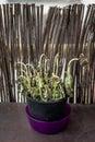 Dead basil plant Royalty Free Stock Photo