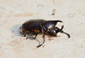 Dead beetle rhinoceros beetle and the ant Stock Photos