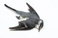 Dead Bird Background In Nature...