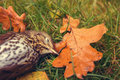 Dead bird death concept song thrush laying on grass Royalty Free Stock Image