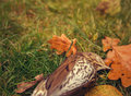 Dead bird lying on autumn leaves song thrush grass and Stock Photo