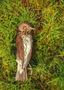 Dead bird song thrush lying on grass Stock Photos