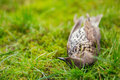 Dead bird song thrush lying on grass Stock Photography
