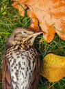 Dead bird song thrush lying on grass Stock Photo