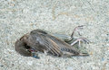 Dead bird starling lying on sidewalk Royalty Free Stock Images