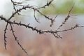 Dead branch sea buckthorn closeup Stock Photography