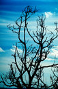 Dead branches and sky Stock Photography
