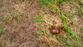 Dead brown snail with a broken shell land in the grass