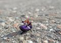 Dead bug supine on pavement closeup showing a named cysolina sturmi in sunny ambiance Stock Photography