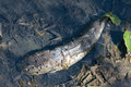 Dead catfish the in dry pond Stock Photos