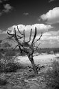 Dead cholla cactus central arizona desert black and white Stock Image