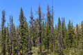 Dead conifer trees killed by bark beetle mountain view of western usa epidemic of family of insects next to healthy Stock Image