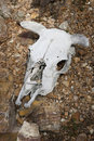 Dead Cow Skull in Desert, American West Stock Photos