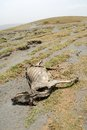 Dead cows on the ground, Great Rift Valley, Tanzania, Eastern Africa