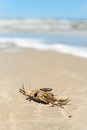 Dead crab at the beach Stock Image