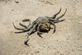 Dead crab lies at the fine sandy beach Stock Photography