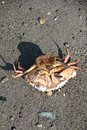 Dead crab a photo of a large Royalty Free Stock Photos