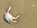 A dead crab shell on the beach Royalty Free Stock Photo